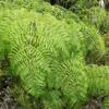 Lacy bracken fern (Pteridium aquilinum var. caudatum)