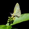 Little yellow sulphur (Eurema lisa)