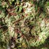 Liverwort (Marchantia sp.)