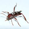 Long-horned beetle (Neoclytus cordifer)