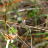 Mother-of-pearl moth (Argyria nummulalis)