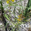 Narrowleaf yellowtops (Flaveria linearis)