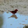 Northern cardinal male (Cardinalis cardinalis)