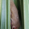 Northern yellow bat (Lasiurus intermedius)