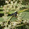 Oleander moth (Syntomeida epilais)