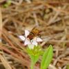 Flower fly male (Palpada vinetorum)