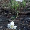 Pine-hyacinth (Clematis baldwinii)
