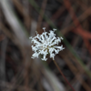 Pineland blackanther (Melanthera parvifolia)