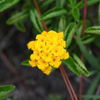 Pineland lantana (Lantana depressa var. depressa)