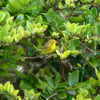 Prairie warbler (Dendroica discolor)