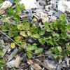 Quailberry (Crossopetalum ilicifolium)