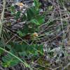 Rabbitbells (Crotalaria rotundifolia)