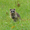 North American Raccoon (Procyon lotor)