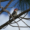 Red-bellied woodpecker male (Melanerpes carolinus)