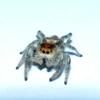 Regal Jumping Spider female orange form (Phidippus regius)