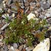 Rustweed (Polypremum procumbens)