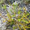 Shiny blueberry (Vaccinium myrsinites)