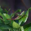 Short-winged meadow katydid (Conocephalus brevipennis)