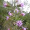 Shortleaf gayfeather (Liatris tenuifolia)