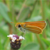Southern skipperling (Copaeodes minima)