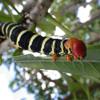 Tetrio sphinx moth caterpillar (Pseudosphinx tetrio)