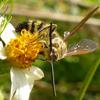 Trifasciata Scoliid wasp male (Campsomeris trifasciata)