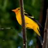 Western tanager male (Piranga ludoviciana)