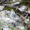 White checkered skipper (Pyrgus albescens)