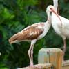 White ibis juvenile (Eudocimus albus)