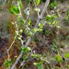 White indigoberry (Randia aculeata)