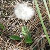 White sunbonnets (Chaptalia albicans)