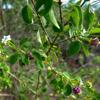 Wild-sage (Lantana involucrata)