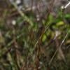 Wire bluestem (Schizachyrium gracile)