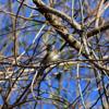 Yellow-rumped warbler female (Dendronica coronata)