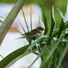 Yellow-rumped warbler male (Dendroica coronata)