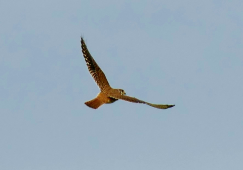 American kestral female (Falco sparverius)