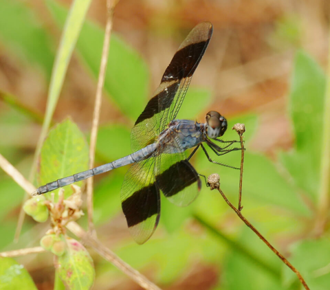 Band-winged dragonlet male (Erythrodiplax umbrata)