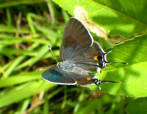 Bartram's scrub hairstreak (Strymon acis bartrami)