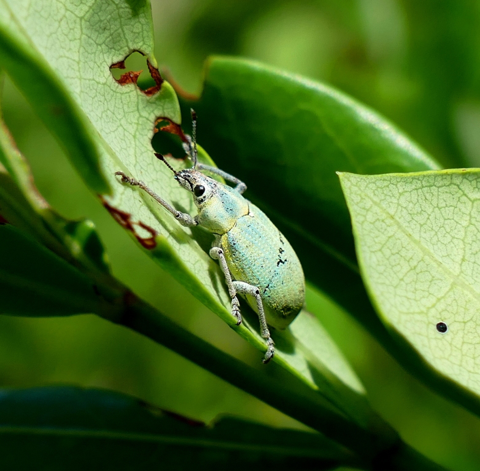 Blue-green citrus root weevil (Pachnaeus litus)