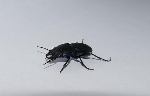 Blue-marginated ground beetle (Pasimachus marginatus)