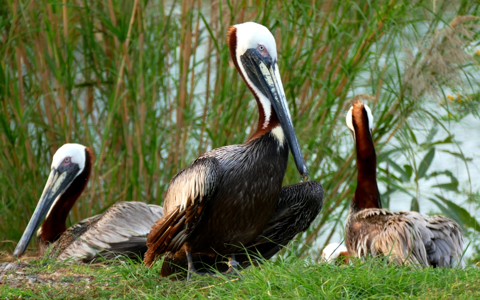 Brown pelican breeding plumage (Pelecanus occidentalis)