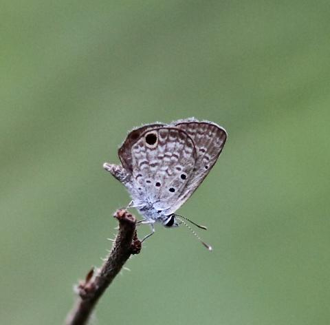 Ceraunus blue (Hemiargus ceraunus)