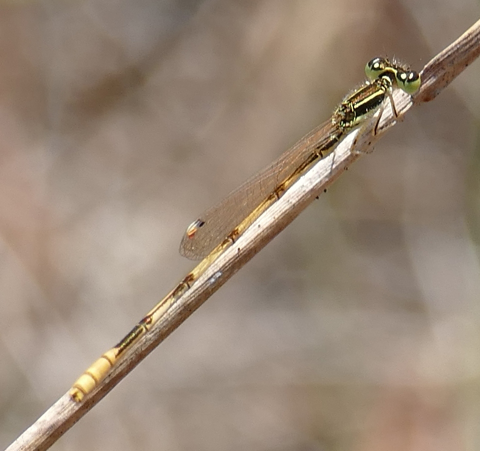 Citrine forktail damselfly male (Ischnura hastata)