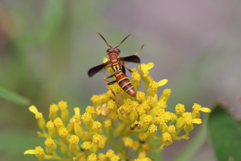 Common paper wasp (Polistes exclamans)