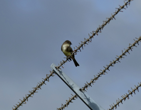 Eastern phoebe juvenile (Sayornis phoebe)