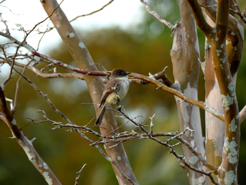 Eastern phoebe winter plumage (Sayornis phoebe)