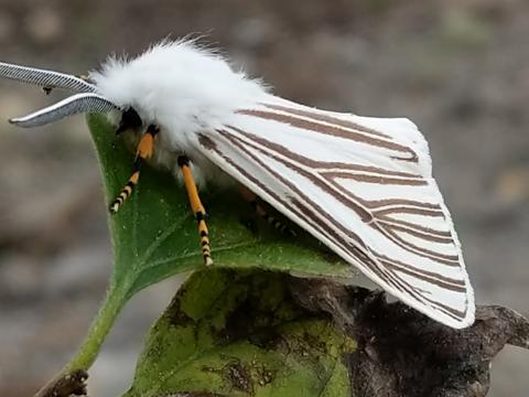 Echo moth (Seirarctia echo)
