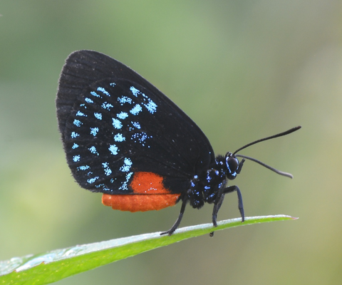 Atala hairstreak (Eumaeus atala)