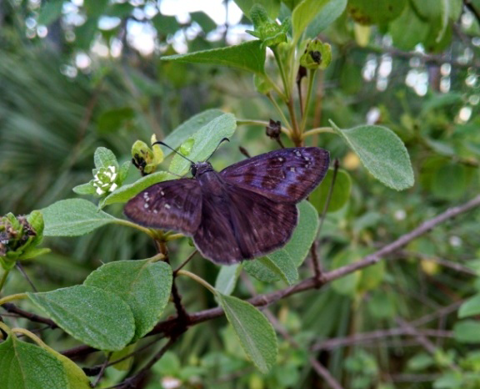 Florida duskywing female (Ephyriades brunneus)