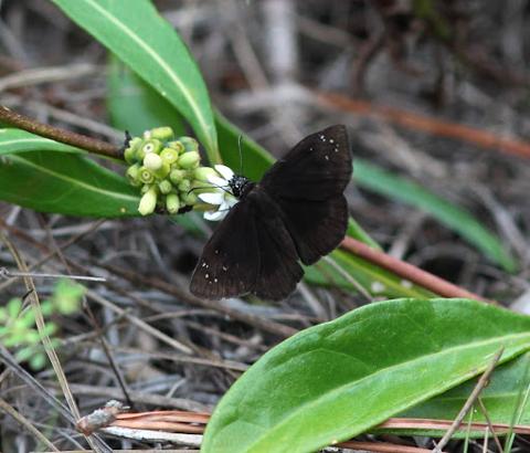 Florida duskywing male (Ephyriades brunneus)